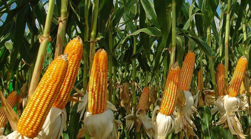 ban corn importation